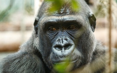 You should be angry about the gorilla, but not for the reason you think.